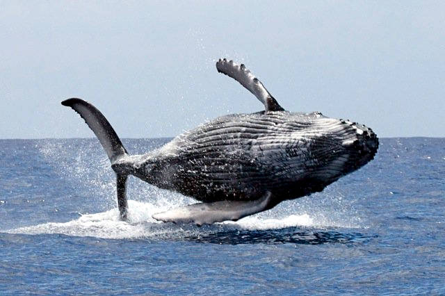 Oamenii au ucis peste 3 milioane de balene in secolul XX