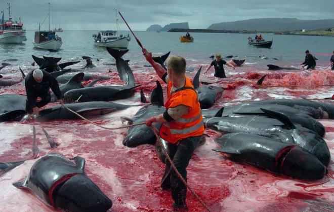 faroe-balene