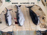 Proiectul Sanctuarului Pentru Balene, Delfini si Marsuini, Blocat la IWC