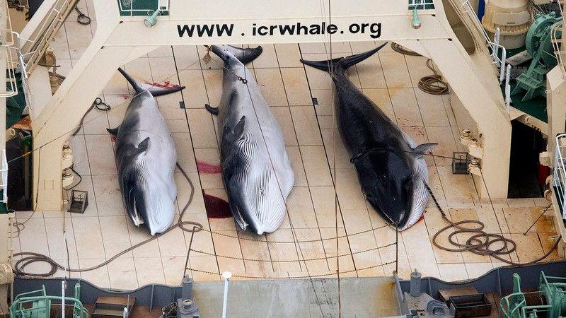 vanatoare-balene-japonia