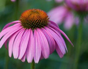 Echinaceea – solutia naturala impotriva racelii