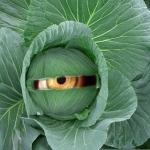 Varza – sanatoasa pentru diete si cochete
