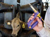 Injectii cu serotonina pentru vacile din industria laptelui